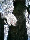 05-04-09_sakura02